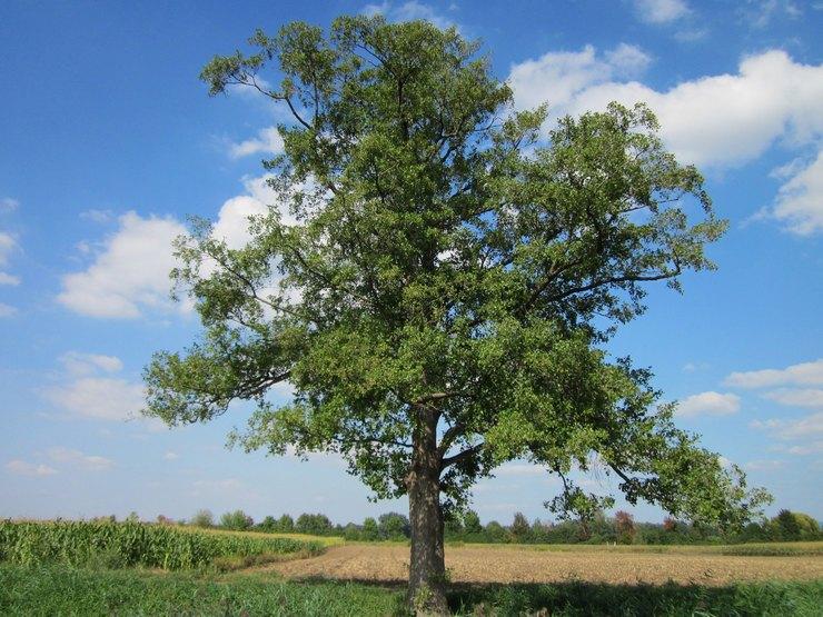 Дерево ольха