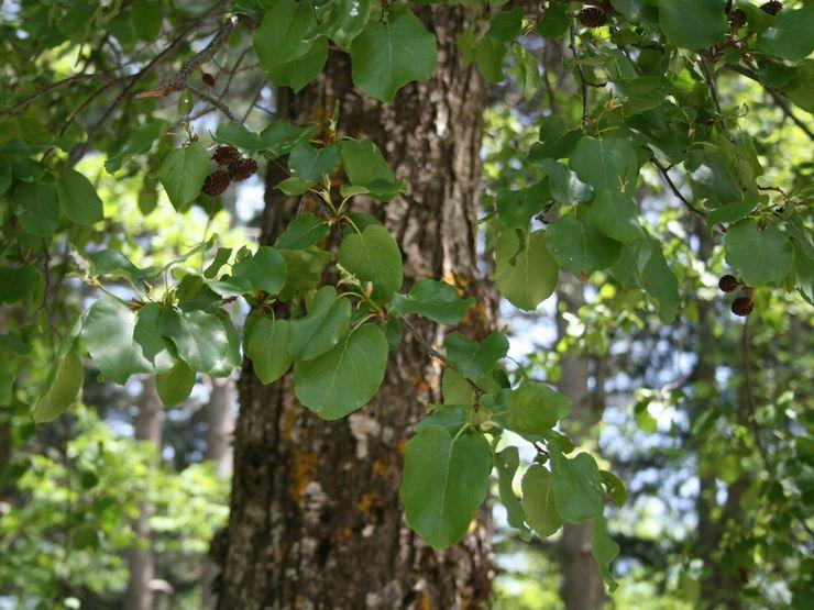 Свойства дерева ольха