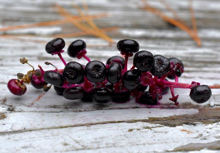 Применение ягод лаконоса