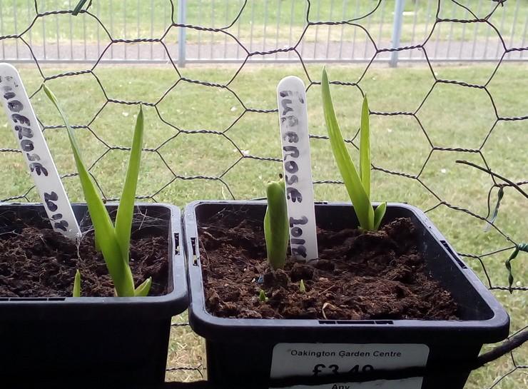 Выращивание туберозы