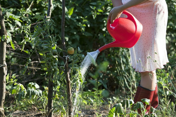 Полив и подкормка помидор