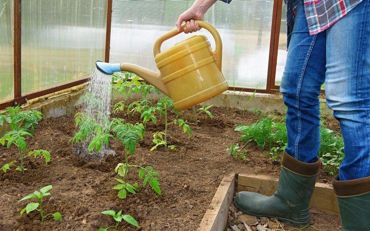 Подкормка рассады помидор
