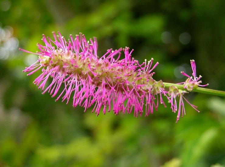 Кровохлебка: описание растения