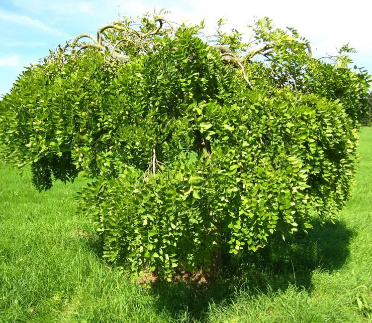 Выращивание софоры
