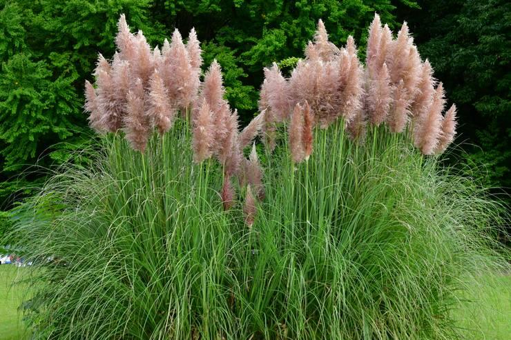 Кортадерия Селло или Пампасная трава