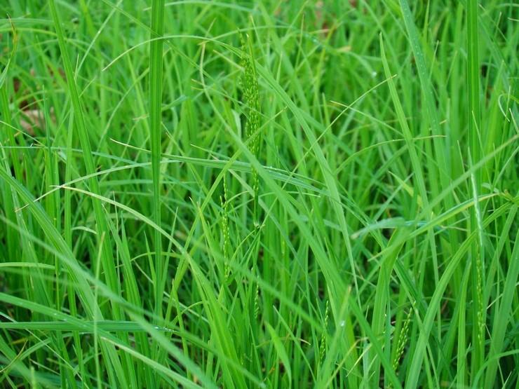 Мятлик: фото травы и описание, виды и сорта, посадка и уход