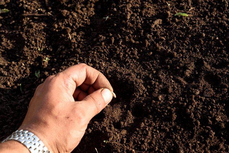 Как посеять огурцы