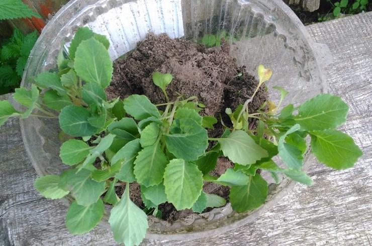 Чем опасна капустная муха для рассады капусты
