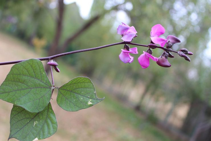 Описание растения долихос