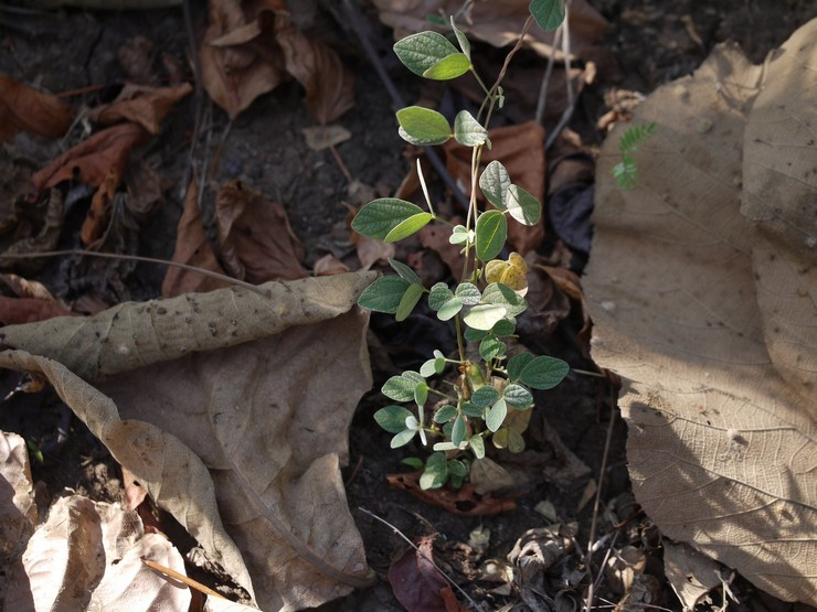 Выращивание долихоса