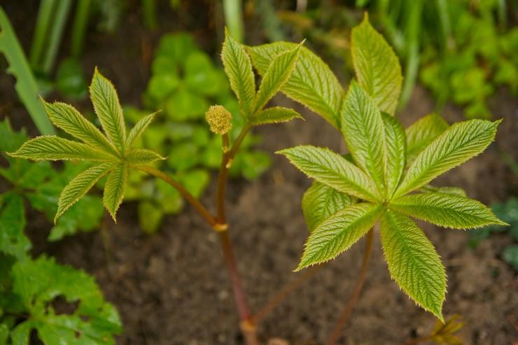 Описание растения роджерсия