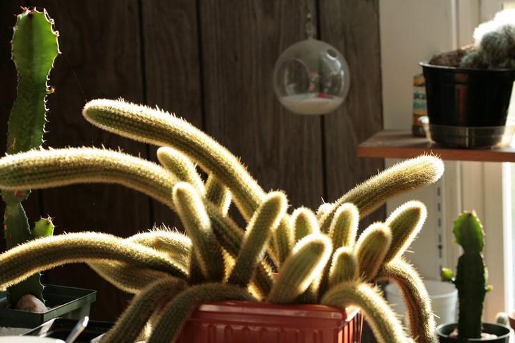 Описание растения клейстокактус