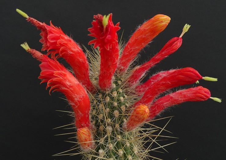 Клейстокактус туписийский