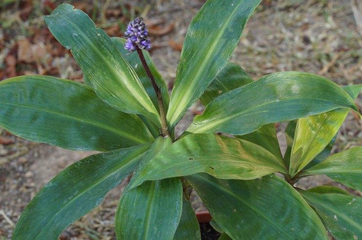 Описание растения дихоризандры