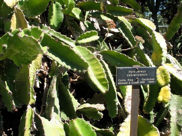 Гилоцереус Костариканский