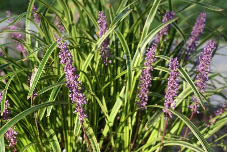 Описание растения лириопе
