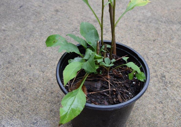 Выращивание золотарника из семян