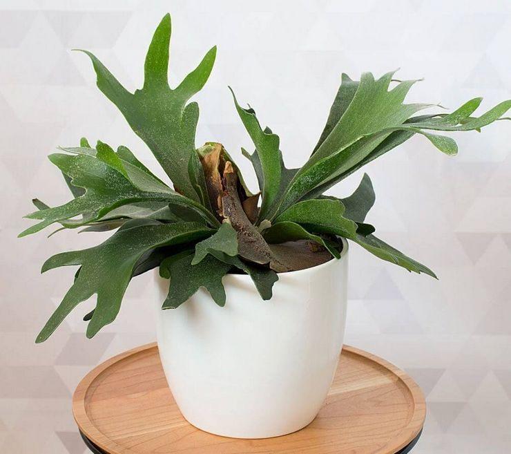 Растению необходим довольно влажный воздух