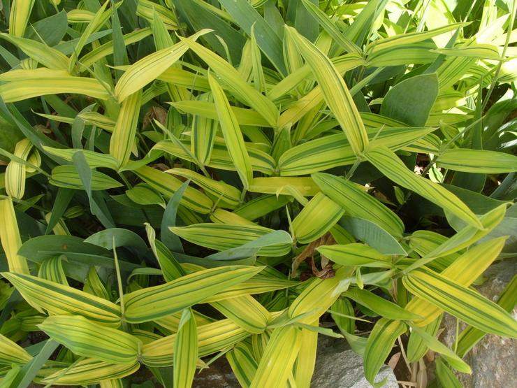 Арундинария зеленополосая