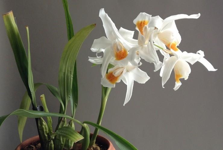 Способы размножения орхидеи целогина
