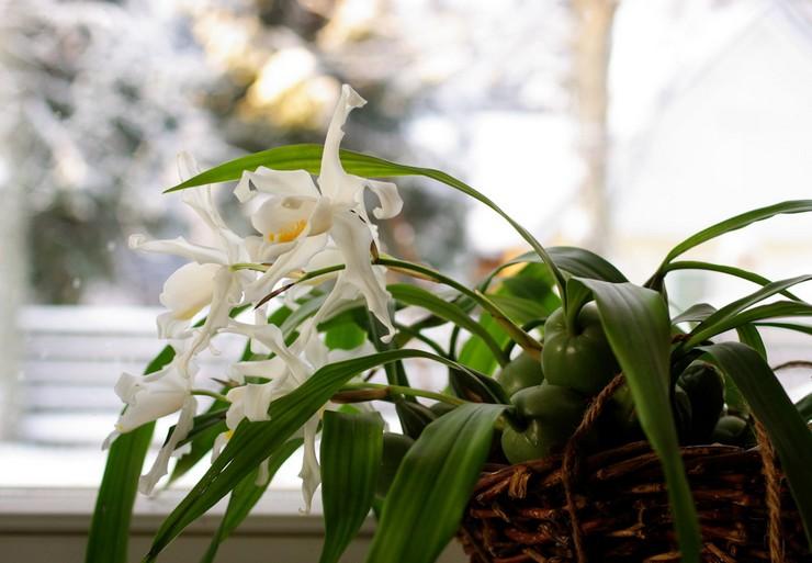 Уход за орхидеей целогина в домашних условиях