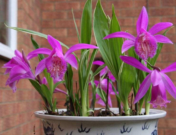 Орхидея плейоне