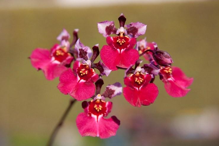 Описание орхидеи толумнеи