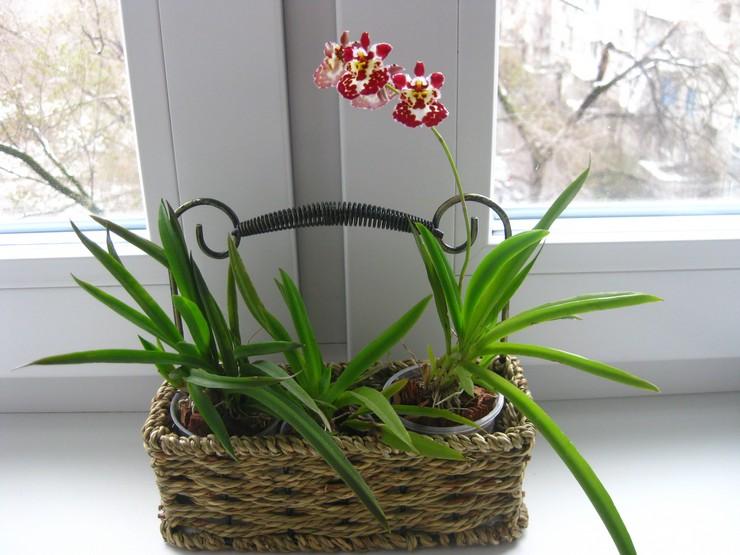 Уход за орхидеей толумния в домашних условиях