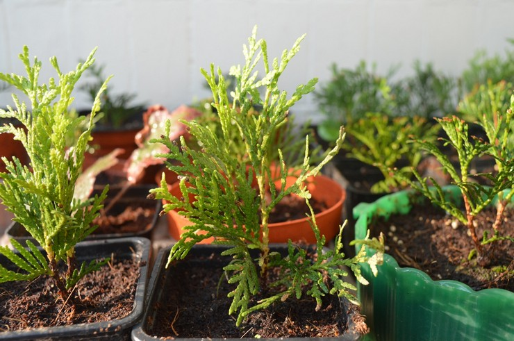 Выращивание туи домашней
