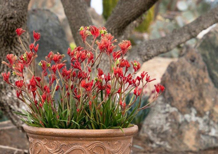 Анигозантос выращивание