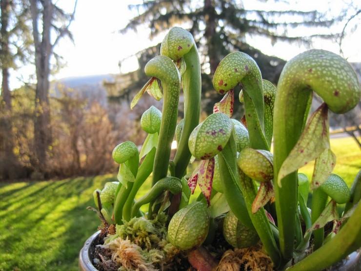 Выращивание дарлингтонии