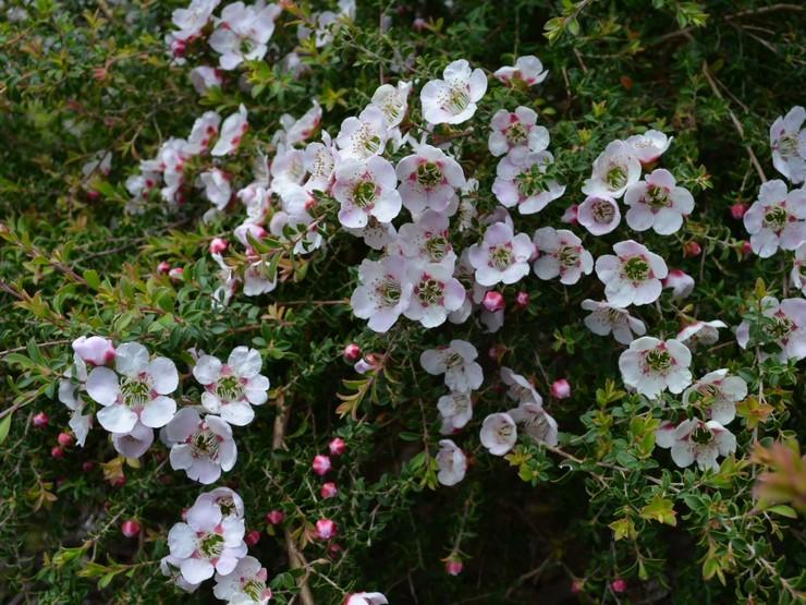 Комнатные разновидности растения