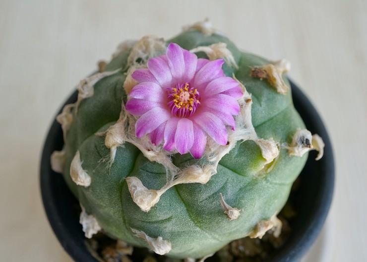 Описание кактуса лофофора