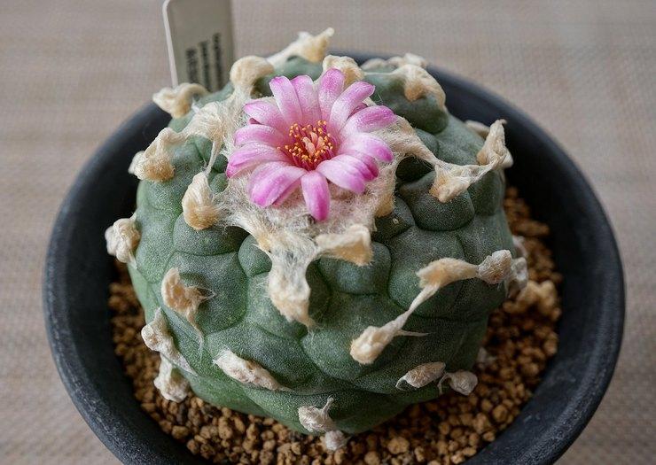 Уход за кактусом лофофора в домашних условиях