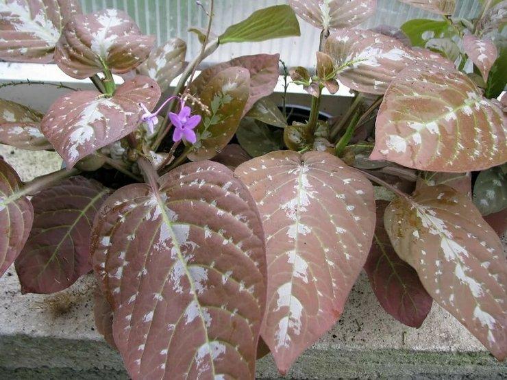 Растение псевдоэрантемум