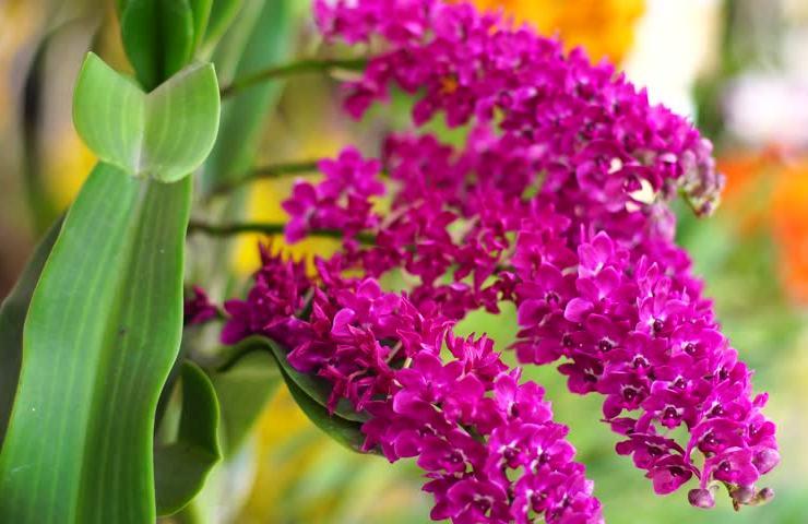 Орхидея ринхостилис