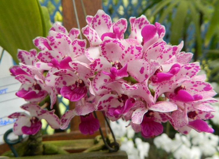 Уход за орхидеей ринхостилис в домашних условиях