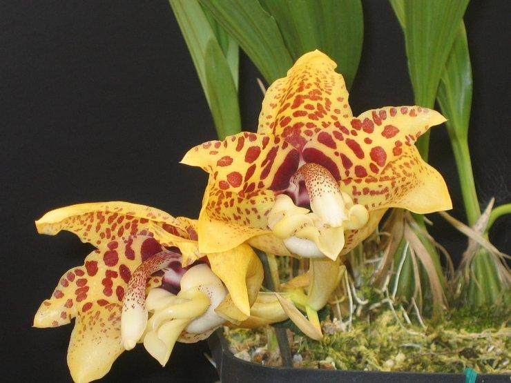 Размножение орхидеи стангопея