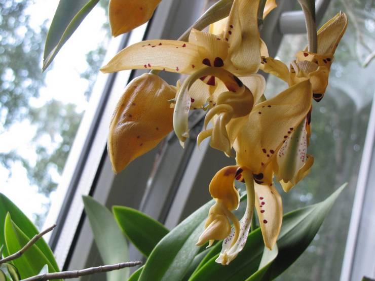 Уход за орхидеей стангопея в домашних условиях