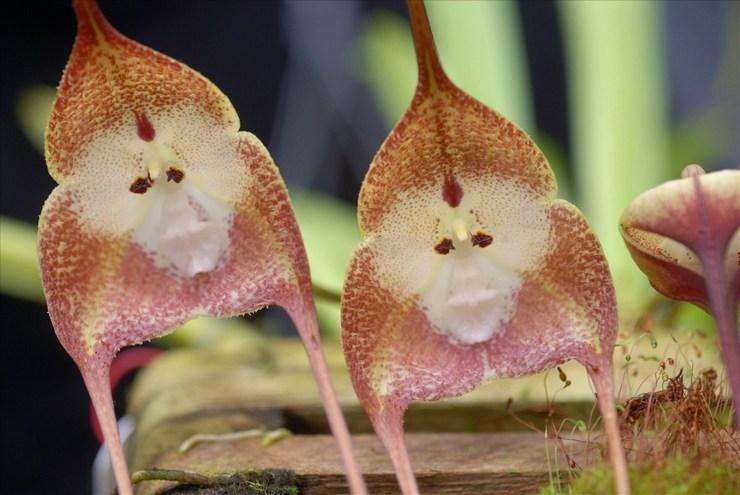 Описание орхидеи дракулы