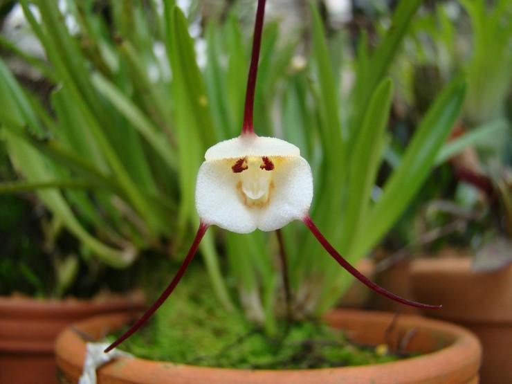 Уход за орхидеей дракулой в домашних условиях