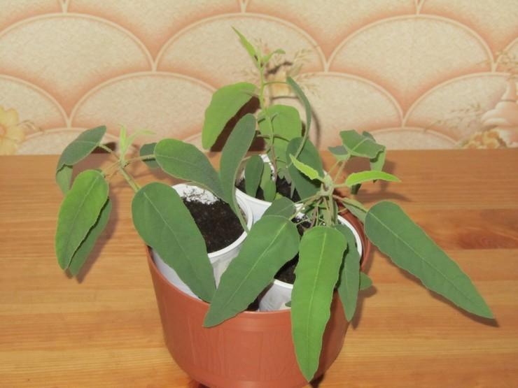 Размножение комнатного эвкалипта