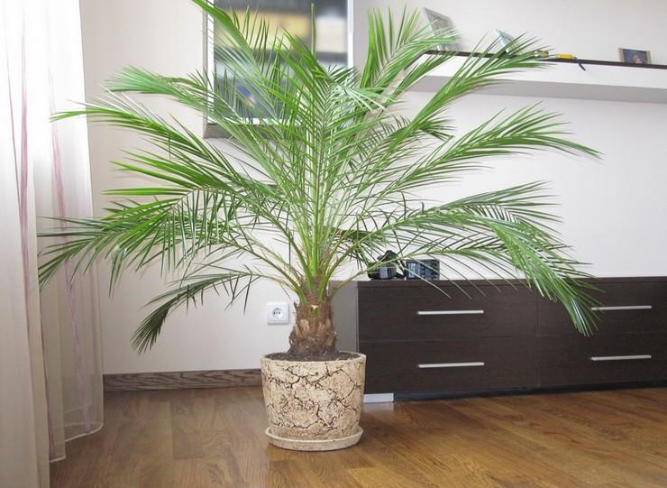 Уход за пальмой феникс в домашних условиях
