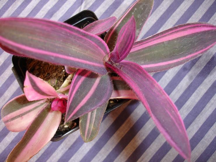 Способы размножения сеткреазии пурпурной