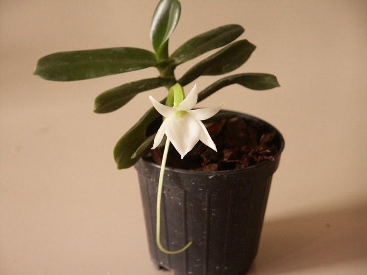 Способы размножения орхидеи ангрекум