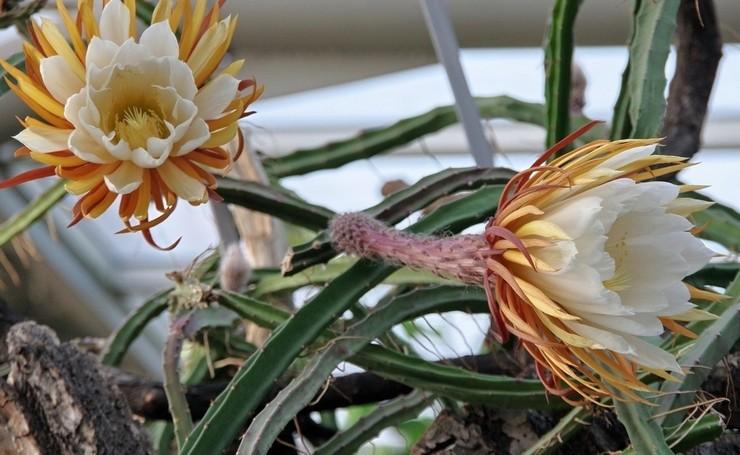 Селеницереус крупноцветковый