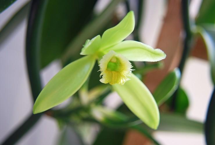 Уход за орхидеей ваниль в домашних условиях