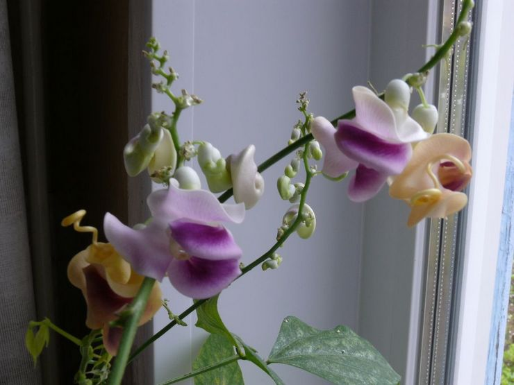 Уход за цветком вигна каракалла