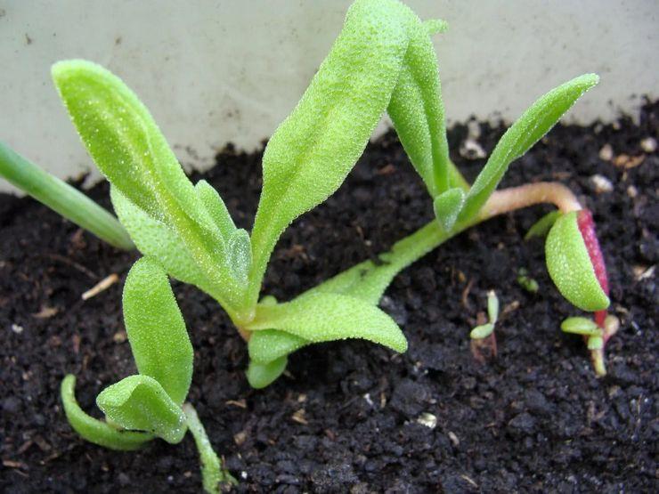 Выращивание доротеантуса из семян