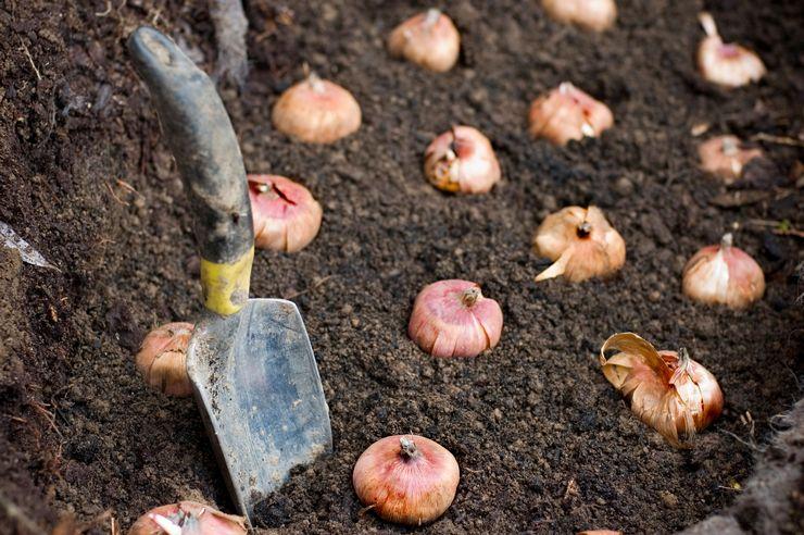Как правильно посадить луковицы гладиолусов